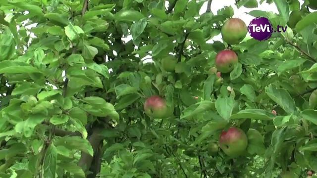 Les pommiers f te de l 39 arbre coiutances - L arbre le pommier ...